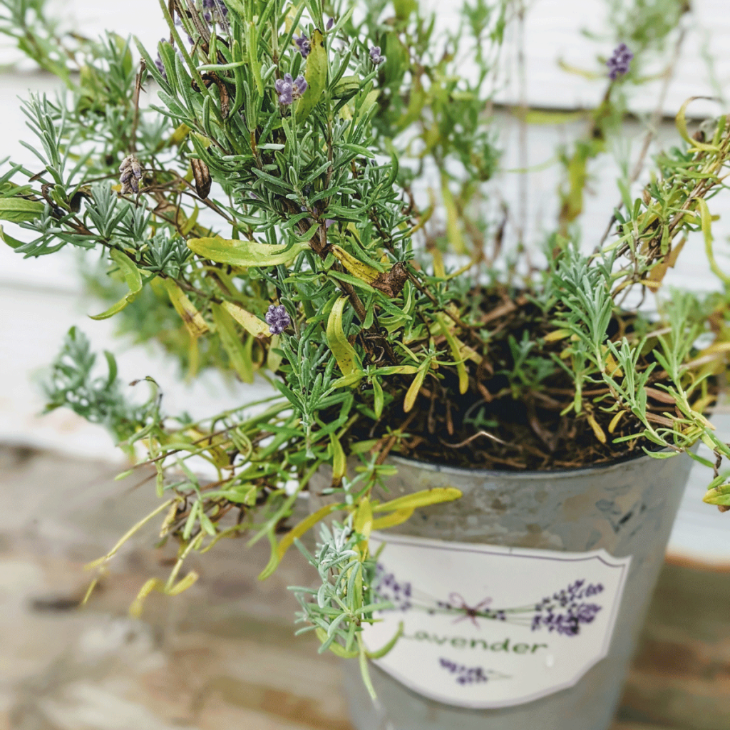 Potted Lavender in a post about Lavender Companion Plants