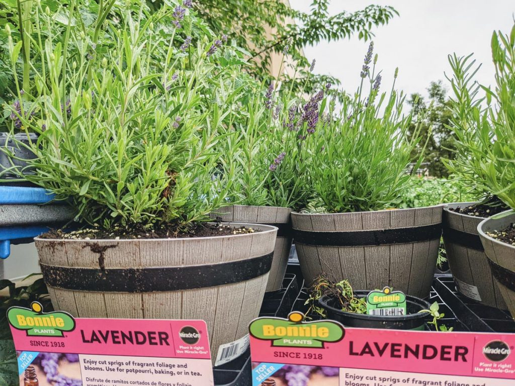 Lavender for sale in mini whiskey barrel planters at Lowes