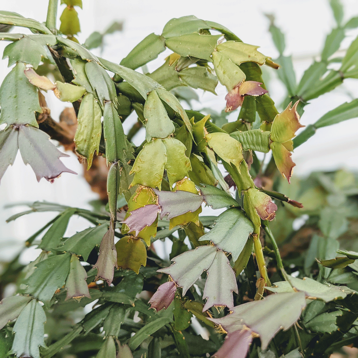 Propagating Christmas Cactus from Cuttings of a Healthy Plant