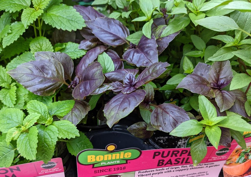 Purple Basil for sale with other herbs