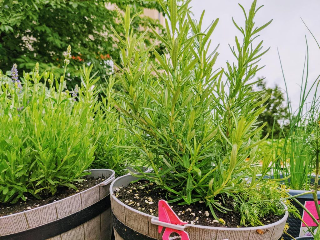 Rosemary and Lavender Together at a Garden Center in mini barrel planters
