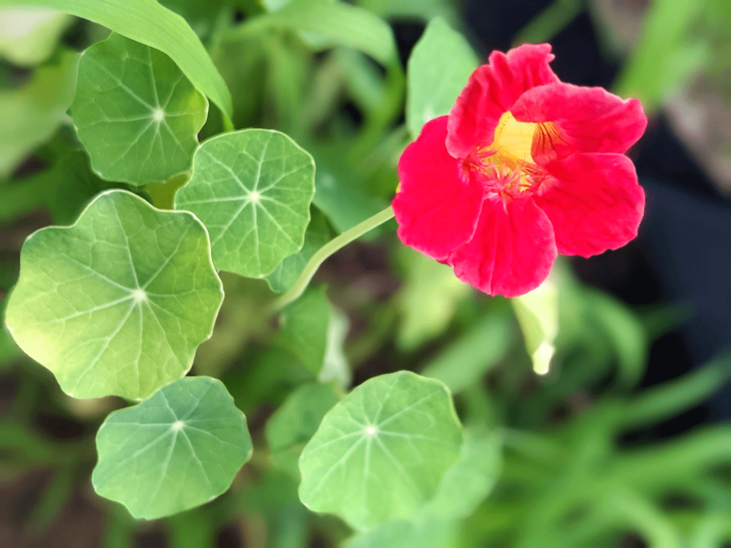 Bright Red Nasturtium Flower in the Garden, 2021