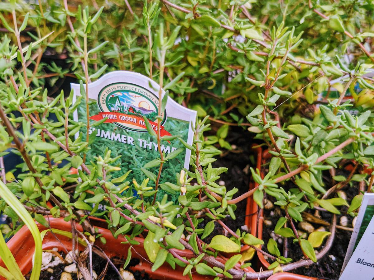 Summer Thyme Plant at a garden center