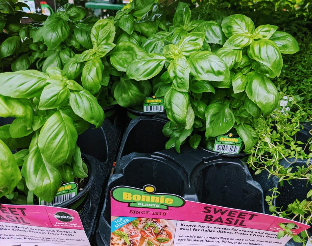 Sweet Basil Plant - Basil Substitute Ideas for Cooking!