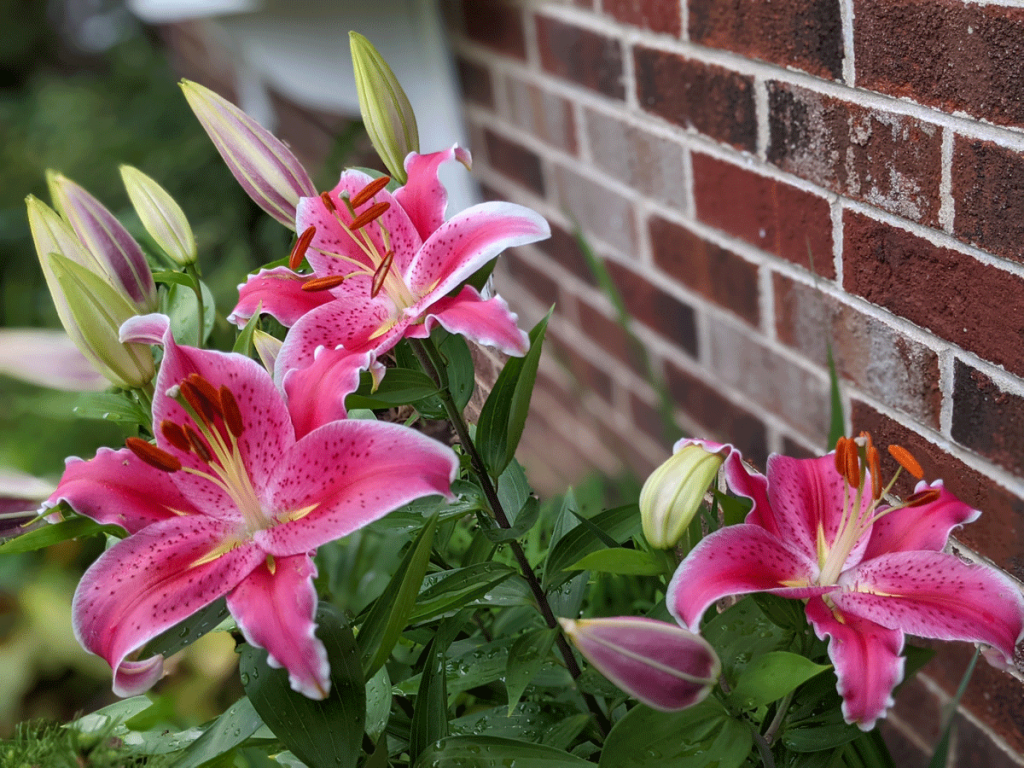 Stargazer Lilies, one of the best things to plant in October!