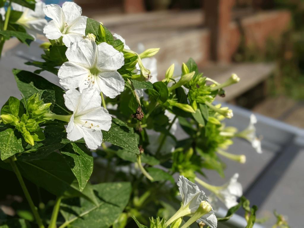White Four Oclocks Flowers in Garden around Deck