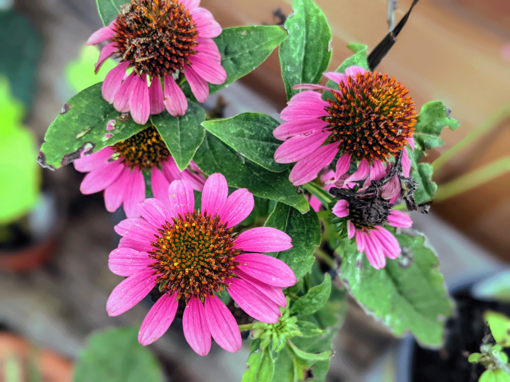 Wildberry Coneflower Echinacea works great as a Lavender Companion Plant - pinkish purple blooms!