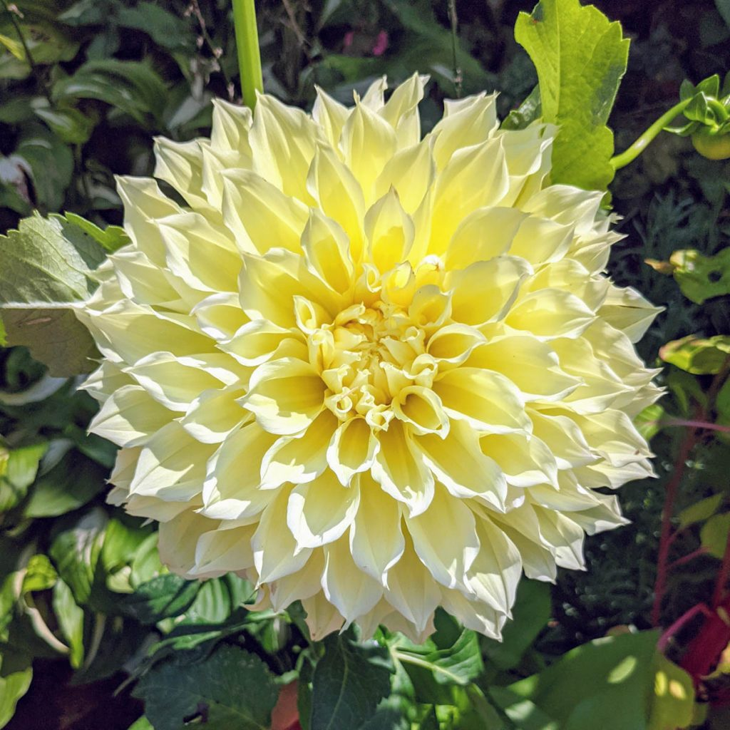 Sunny Yellow Perennials - Dinnerplate Dahlia