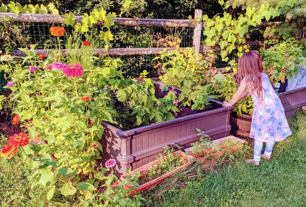 Little Girl Picking Raspberries near a Border of Zinnias (Companion Plants)