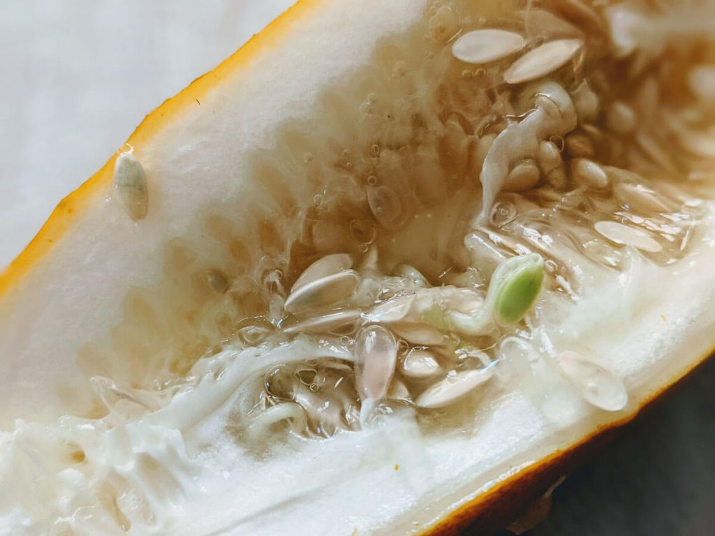 Cucumber Seeds Sprouting inside Cucumber