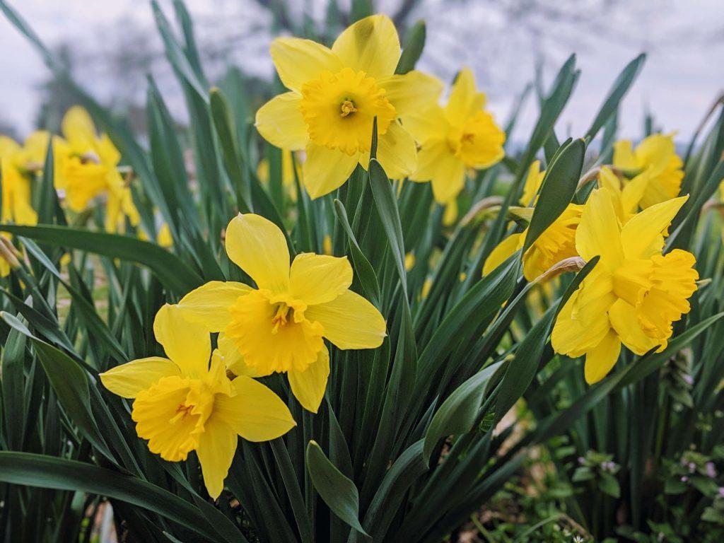 Sunny Daffodils in the garden