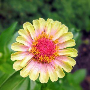 Pictures of Zinnias – My Garden's Best Zinnia Blooms