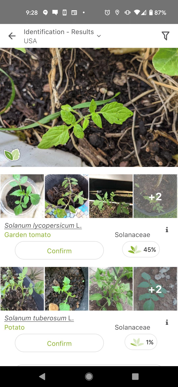 Garden Tomato Plant Identified on PlantNet App