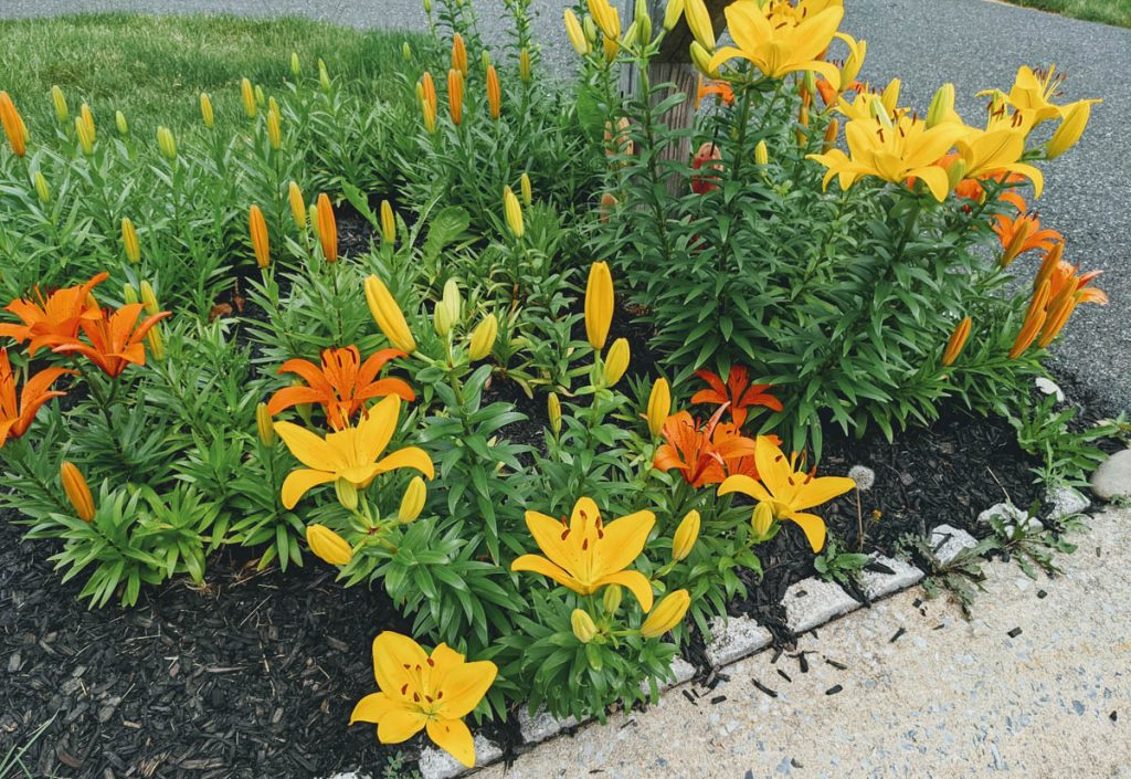 Yellow Asiatic Lilies with orange ones in a curbside garden