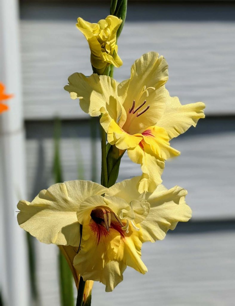 Yellow Gladiolus in bloom