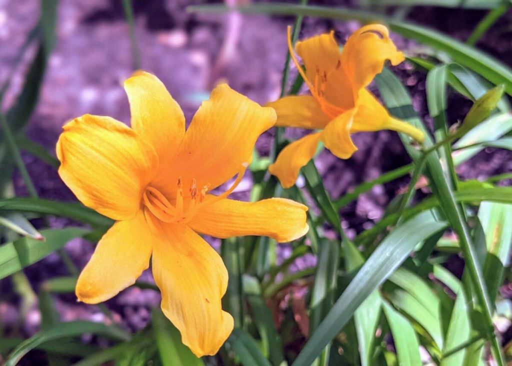 Yellow Perennials for the Garden, featuring a Stella De Oro Daylily