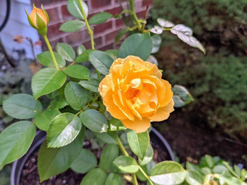 Yellow Rose Julia Child Perennial
