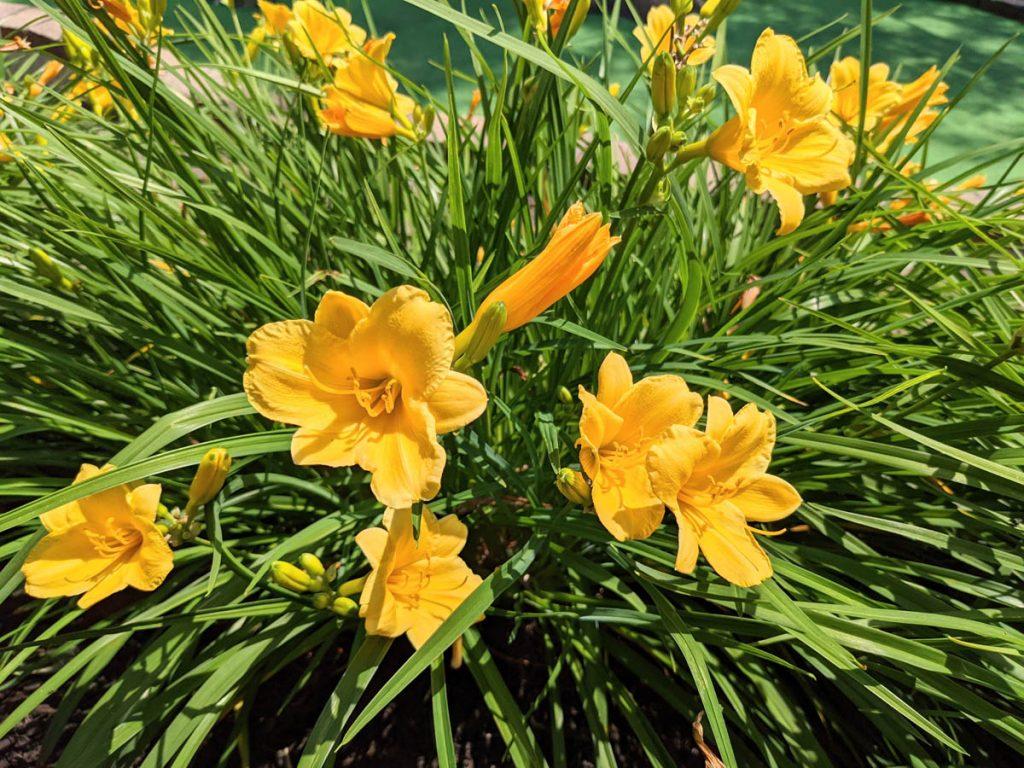 Yellow Stella D'oro Daylilies in bloom